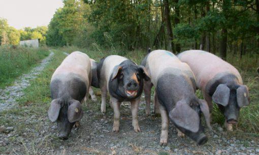 Eichelschweine